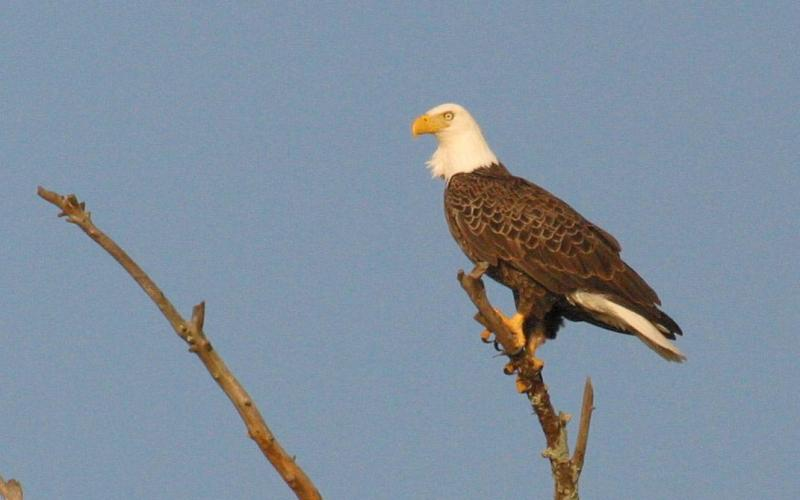 Photo submitted by Clay George/Ga. DNR — A bald eagle is perched on a tree near the Altamaha River in Southeast Georgia.