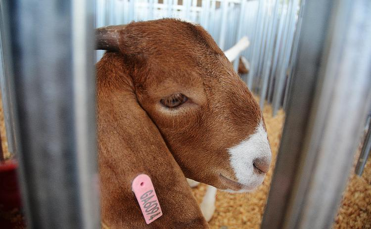 Sunshots by Michael Hall — A goat peers through the fence at the Straight from the Hart EMC Goat Show on Aug. 3 at the Hart County AgriScience Center.