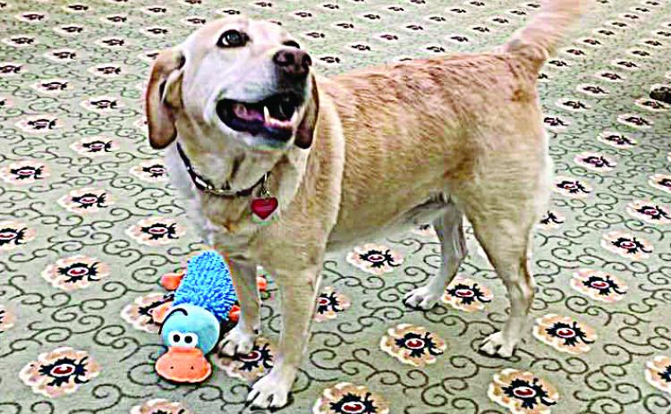 Photo submitted — The yellow lab, Maggie, smiles for the camera at her new home in New Hampshire. She and another local rescue were sent by Hart County Animal Rescue to live in assisted living facilities there.