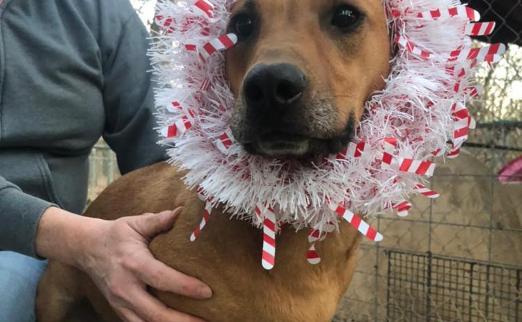Photo submitted — Hart County Animal Rescue, which seeks to aid homeless pets like this festive pooch, is taking donations to help them build a fence at a property on which it has future plans to build a shelter kennel.
