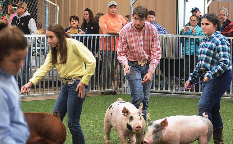 Sunshots by Michael Hall - Hart County's Trey Chafin, middle, watches the judge as he shows his pig in the Intermediate Division of the showmanship competition on Saturday, Dec. 7, at the Hart County Agriscience Center during the Lake Hartwell Pig Classic.