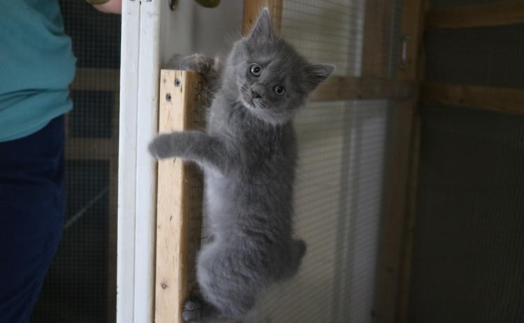 Sunshot by Grayson Williams — A kitten climbs a screened door recently at the Hart County Humane Society's J. Robert Mauldin Animal Sanctuary.