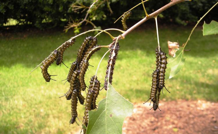 Photo submitted — Orange-striped oak worms eat leaves on a tree. The worms have been decimating foliage on trees around Hart County recently.